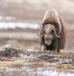 musk ox tundra