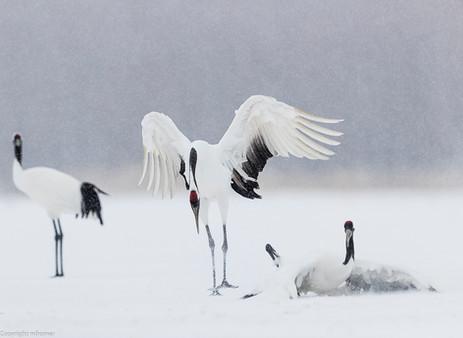 Fighting cranes