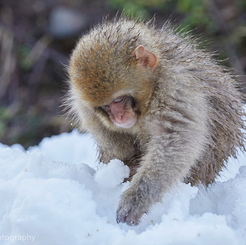 young snow monkey gathering food