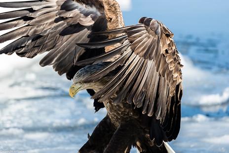 white- tailed eagle 2017