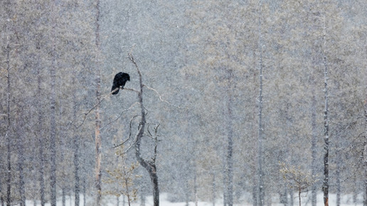 Finland, April 2016, all picture taken from a hide, no running water nor electricity, after a snow storm