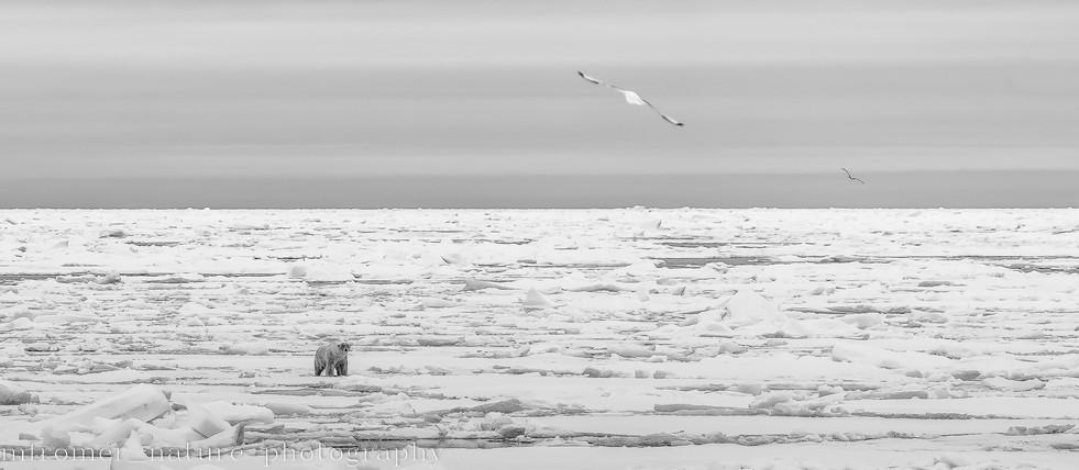 Packice and polar bear 2018