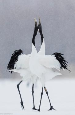 Dancong crane