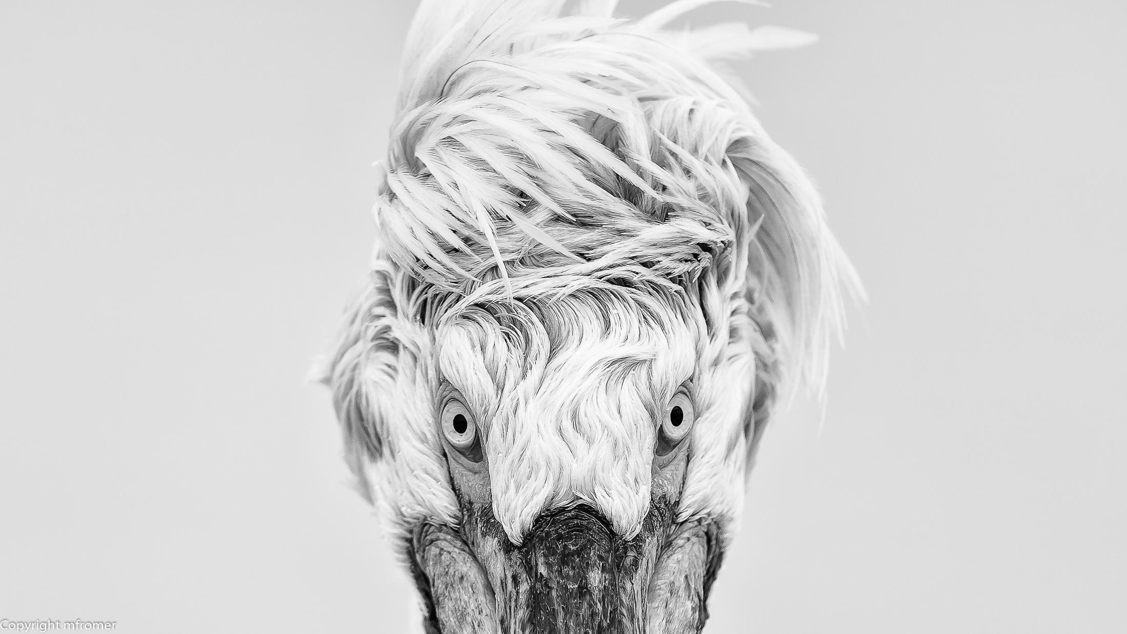 Lake Kirkini 2015, Dalmatin pelican-2