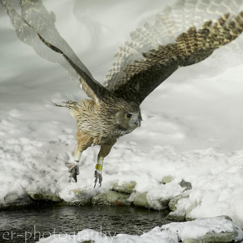 fishing owl 6