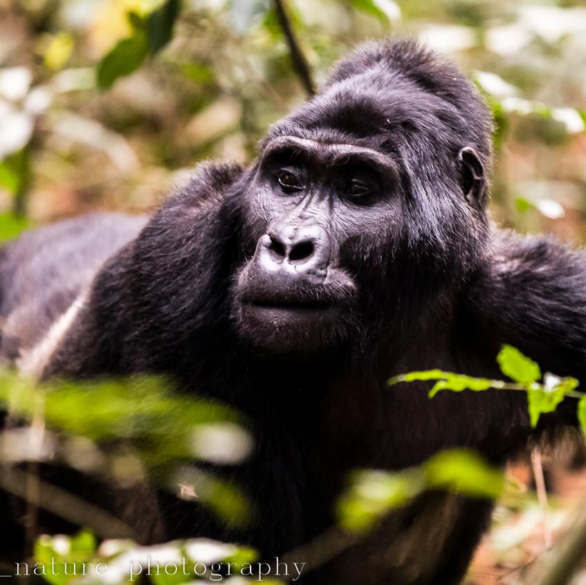 portrait of a mountain gorilla-19