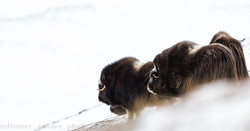 Musk Ox braving the strong winds
