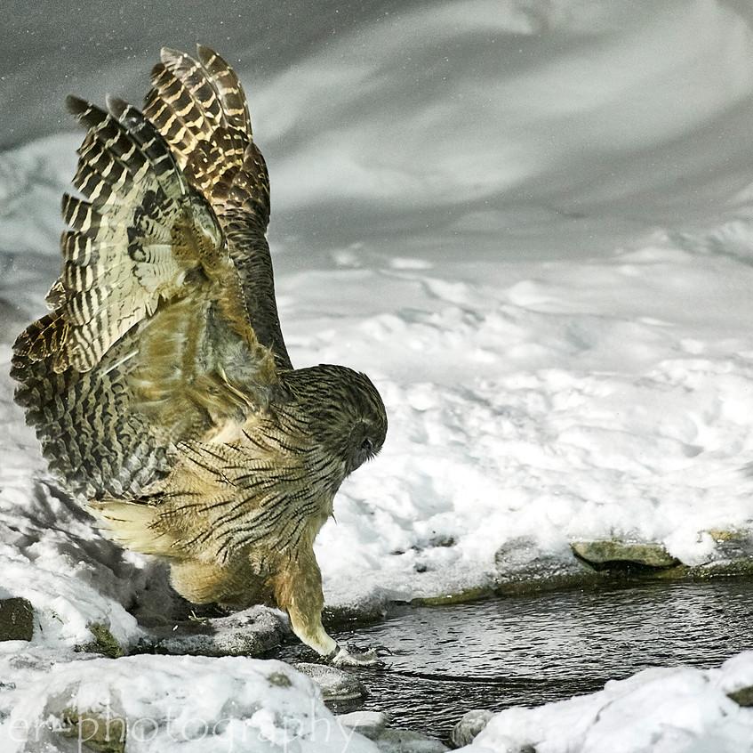 fishing owl 3