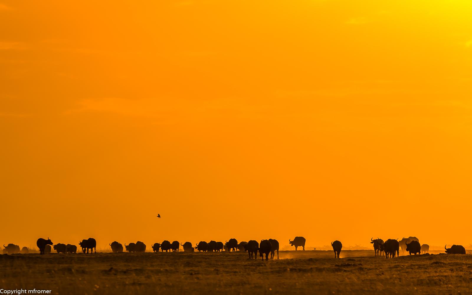 sunset and buffalos