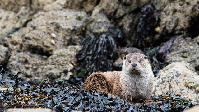 Shetland, 2013. After days of searching and hiking along the coast line, with a guide, we finally had the chance for 10 min to take picture of this beautyful male sea otter.
