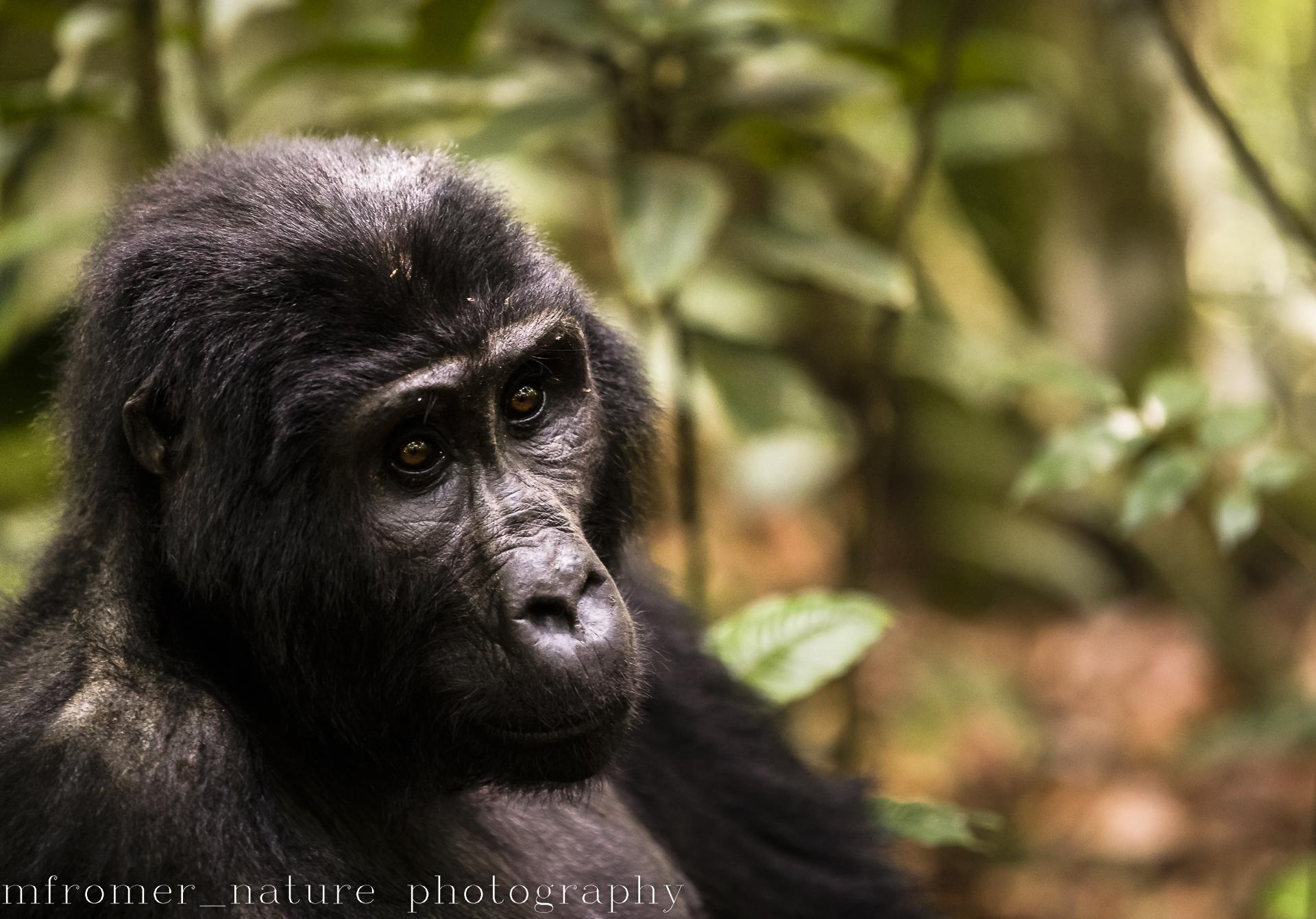mountain gorilla rushegura group-9