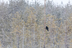 Finland 2016 Raven and snow