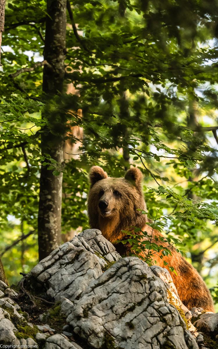 Brown bear in Slovenia