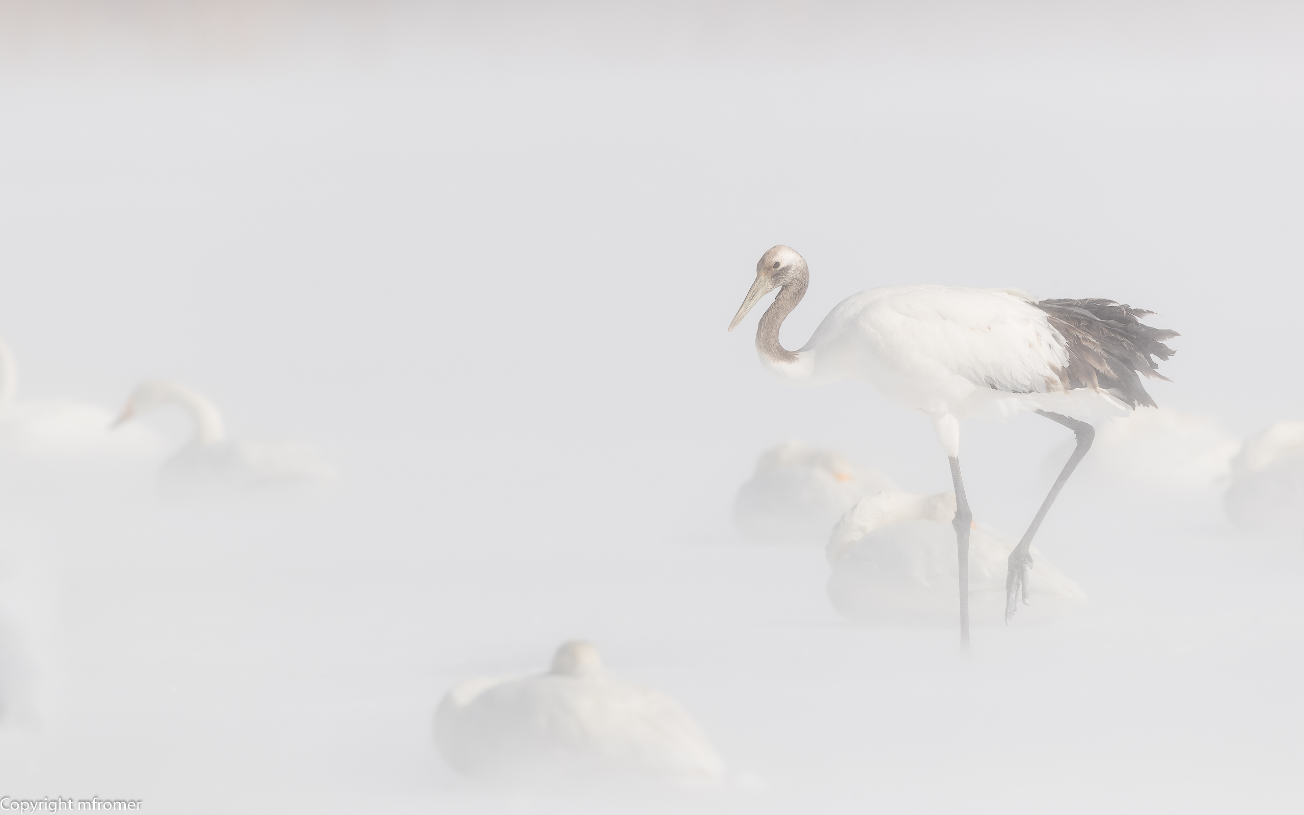A subadult crane and whooper swans
