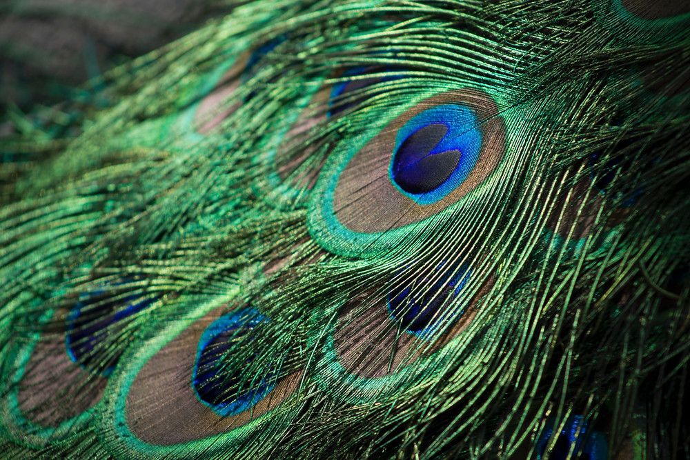 Color Singular pavo real de donde viene el color
