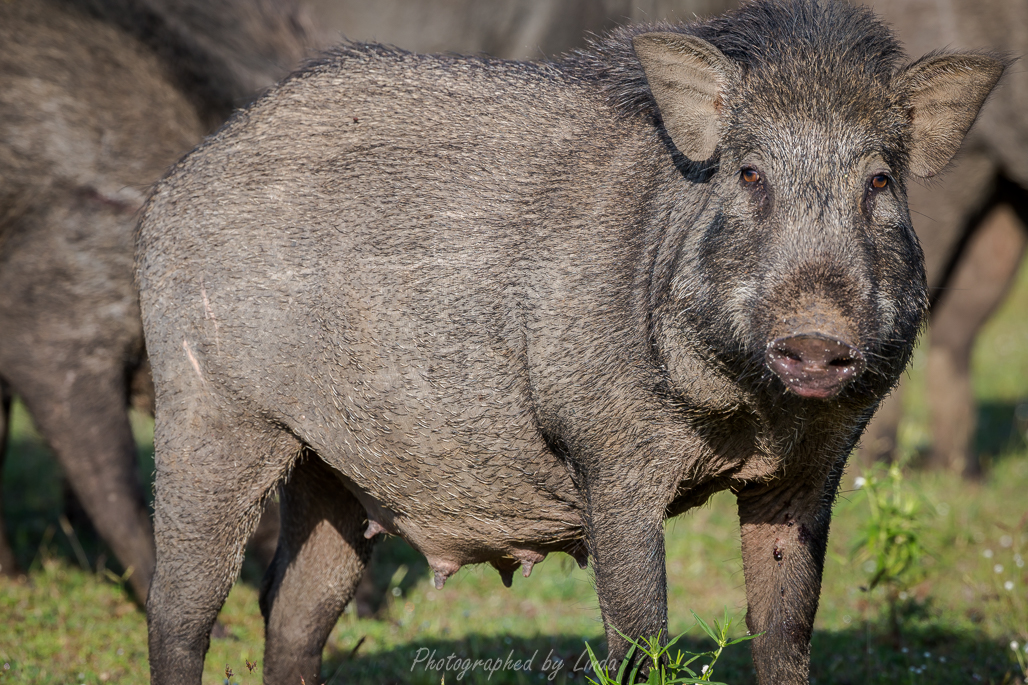 Mama wild boar