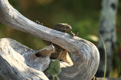 Little land monitor on branch