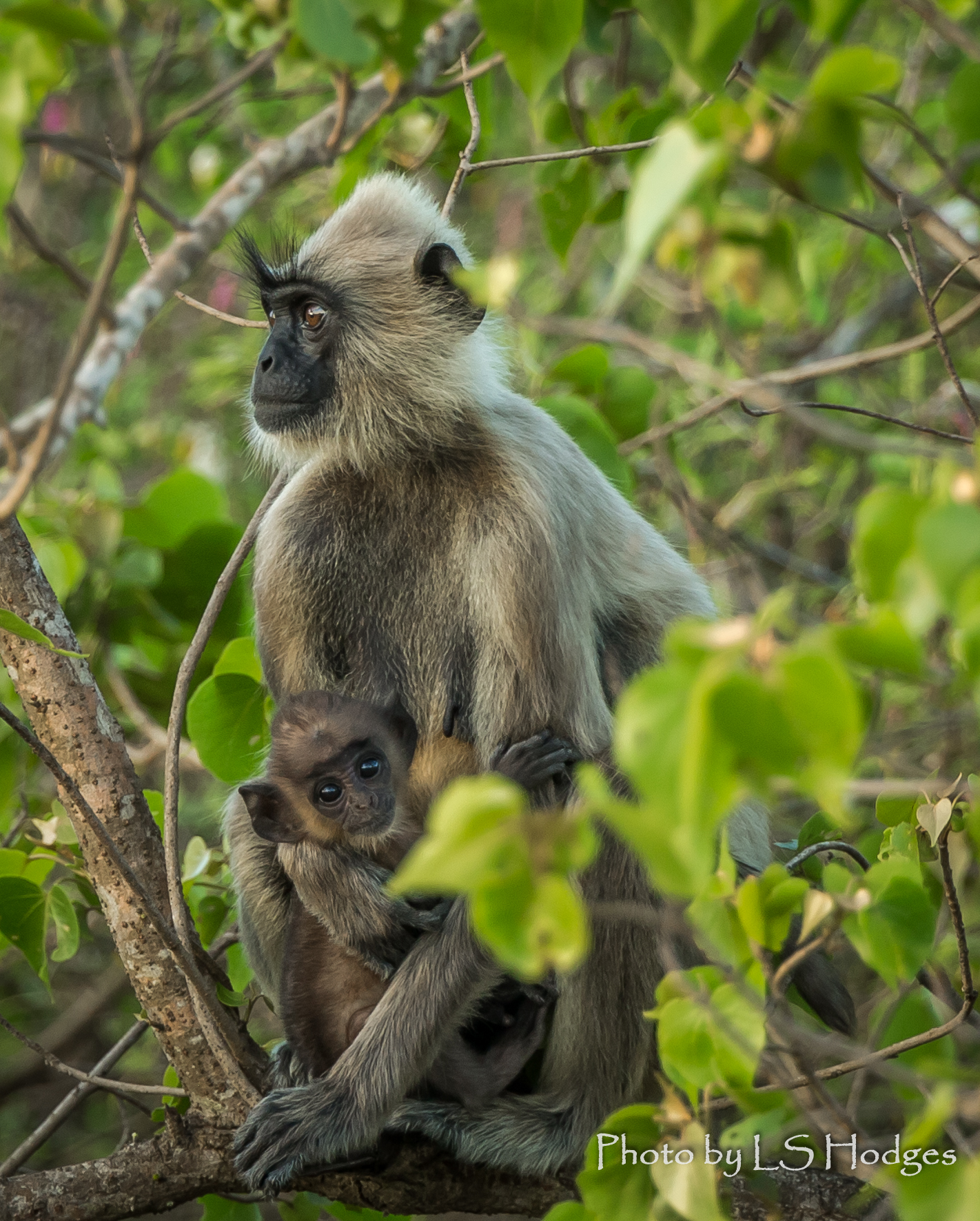 Baby Tufted Grey Langur