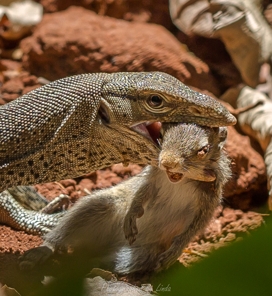 Monitor lizard with squirrel