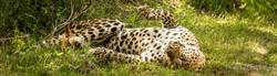 leopard sprawling
