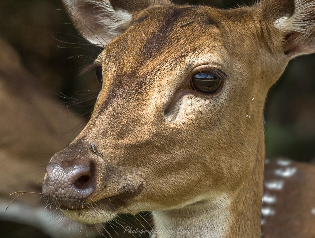 Spotted deer 4