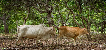 Cows and cashew-1.jpg