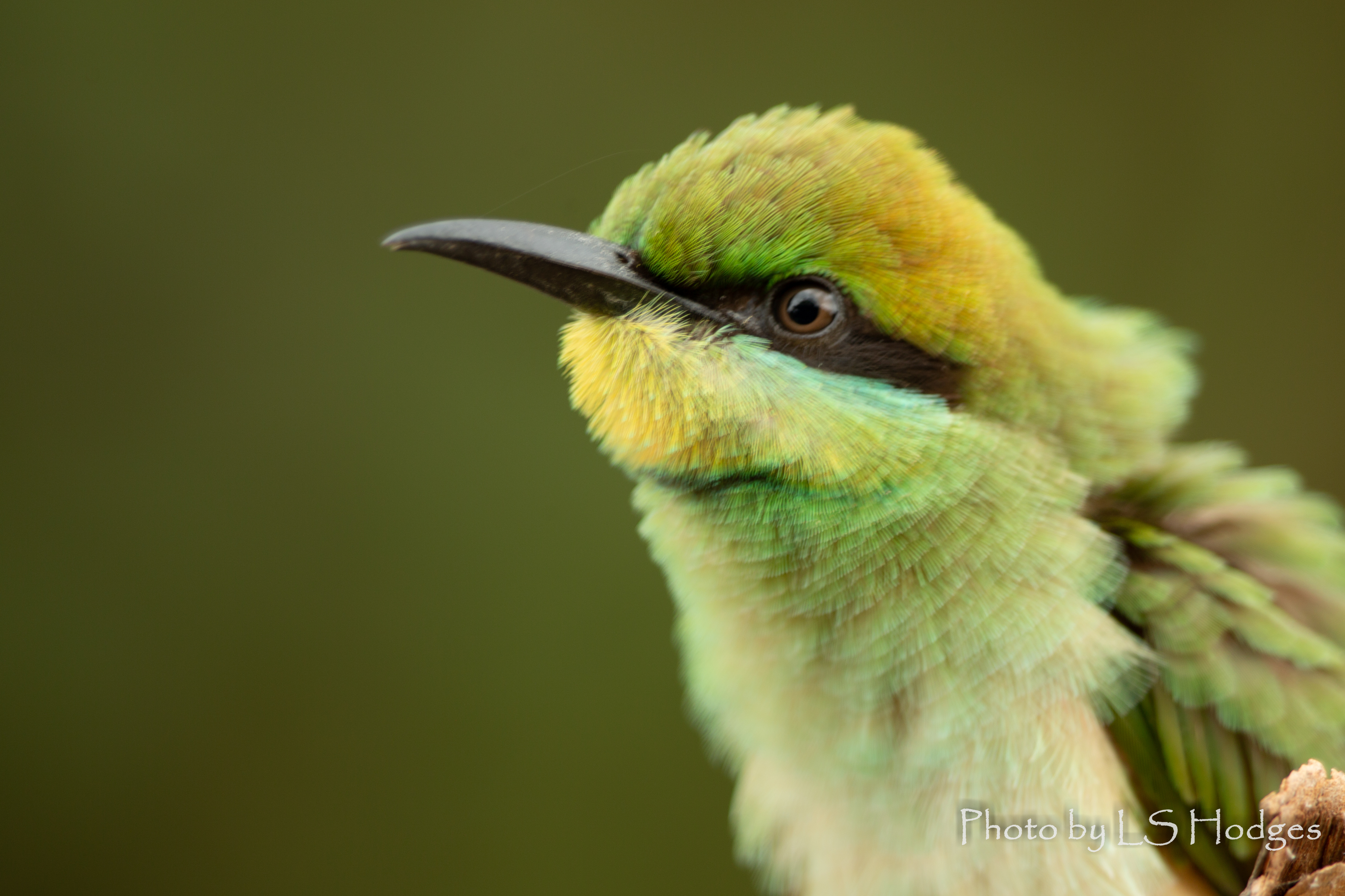 Litlle Green Bee Eater Juvenile