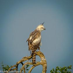 Juvenile Crested Hawk Eagle