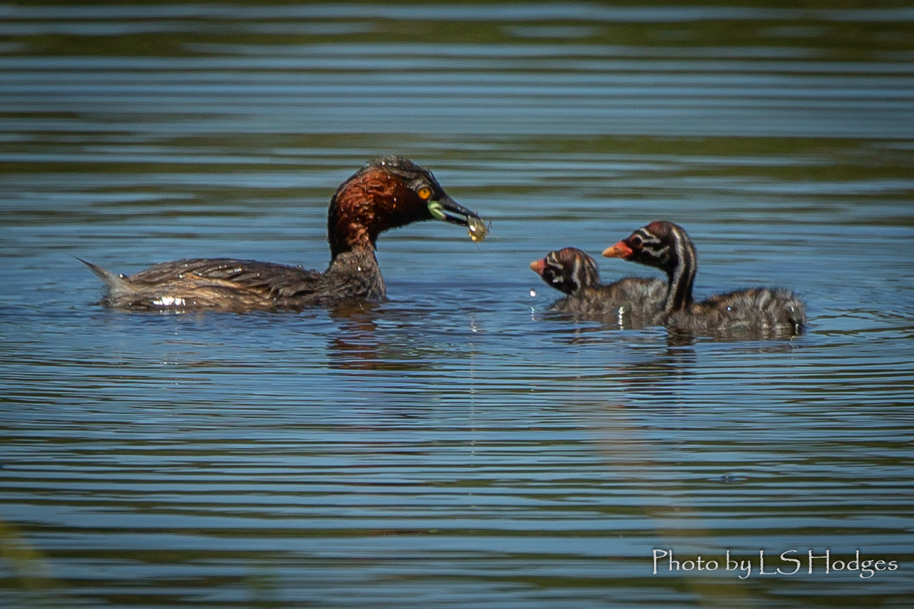 Little Grebe feeding babies