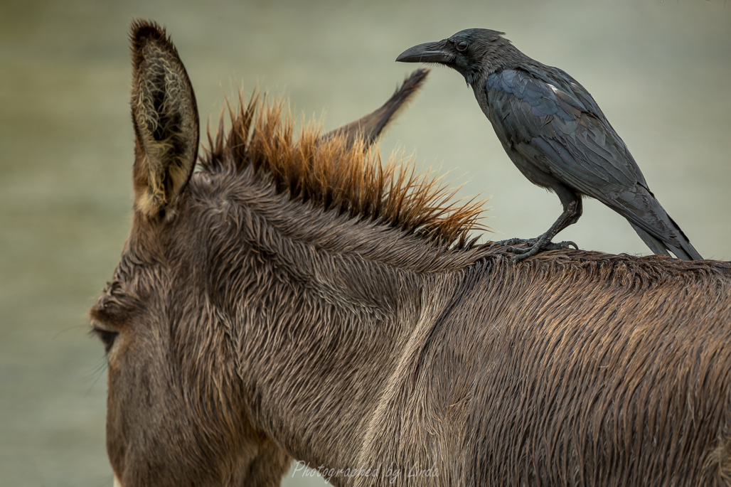 Crow on wild donkey