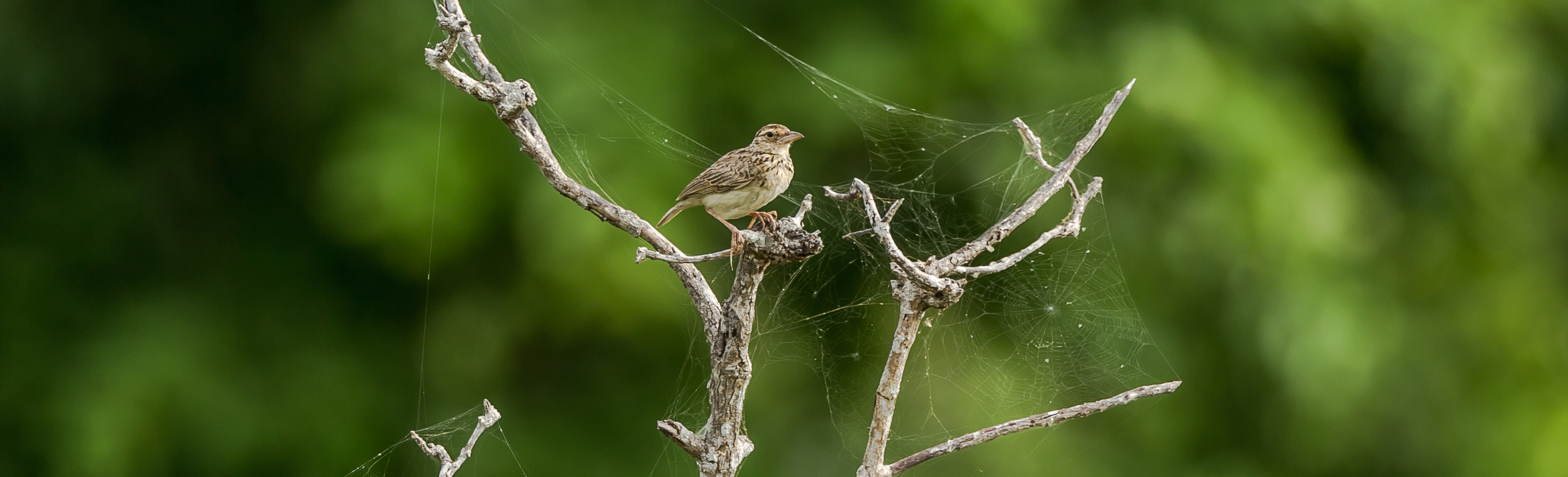 Bird among cobwebs