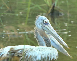 Spotted bill pelican