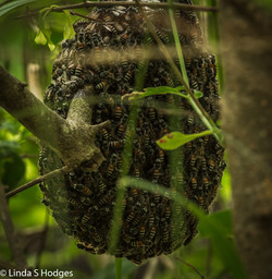 Asian Honey Bees hive