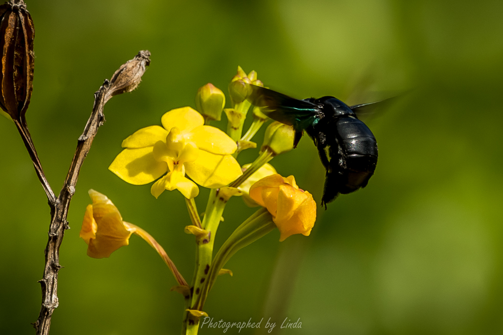 Carpenter bee on orchid