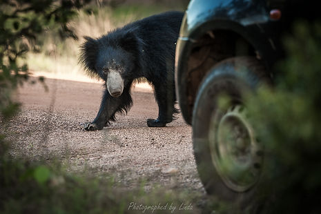 Sloth Bear.jpg
