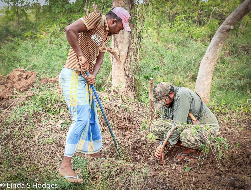 Planting kumbuk tree on bund