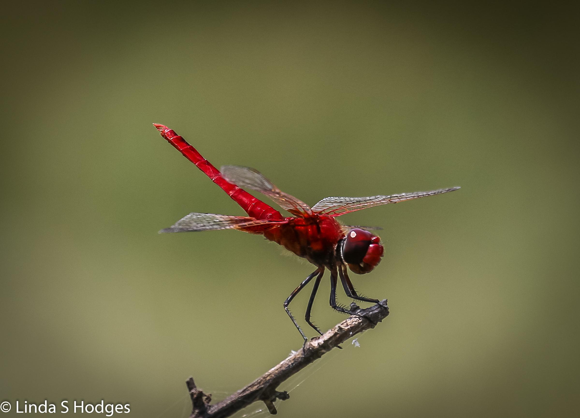 Scarlet Basker