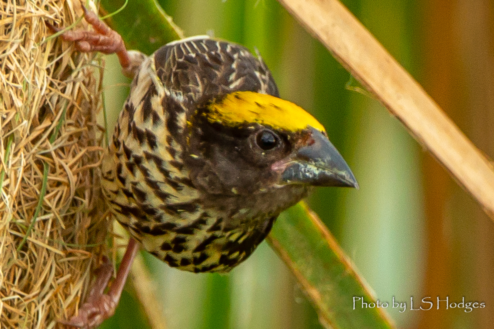 Striated Weaver
