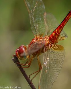 Oriental Scarlet