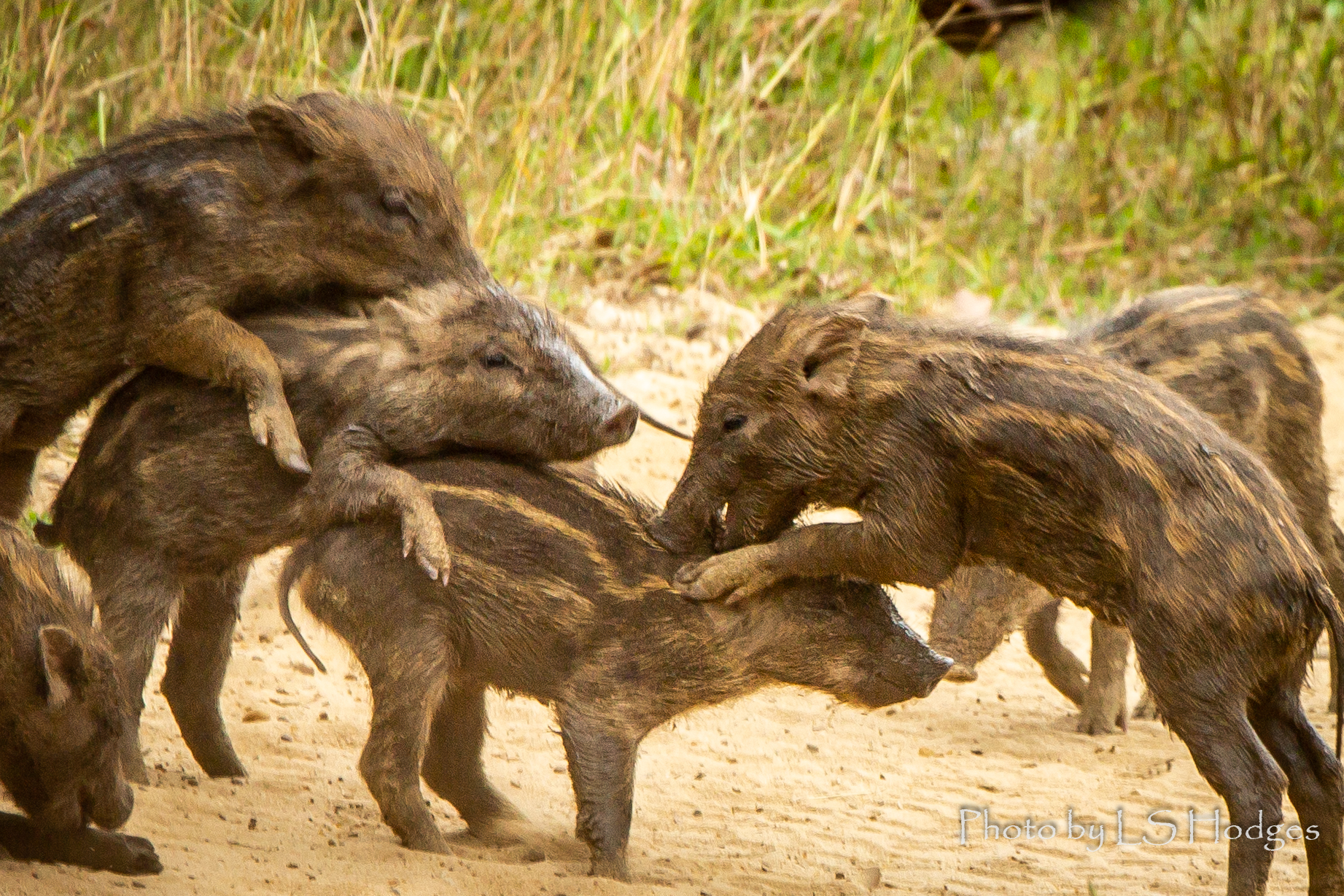 Wild Boar Squeakers