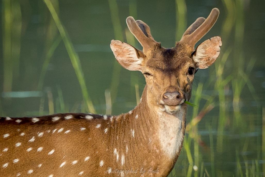 Spotted deer 3
