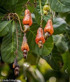 Cashew nut and flower.jpg