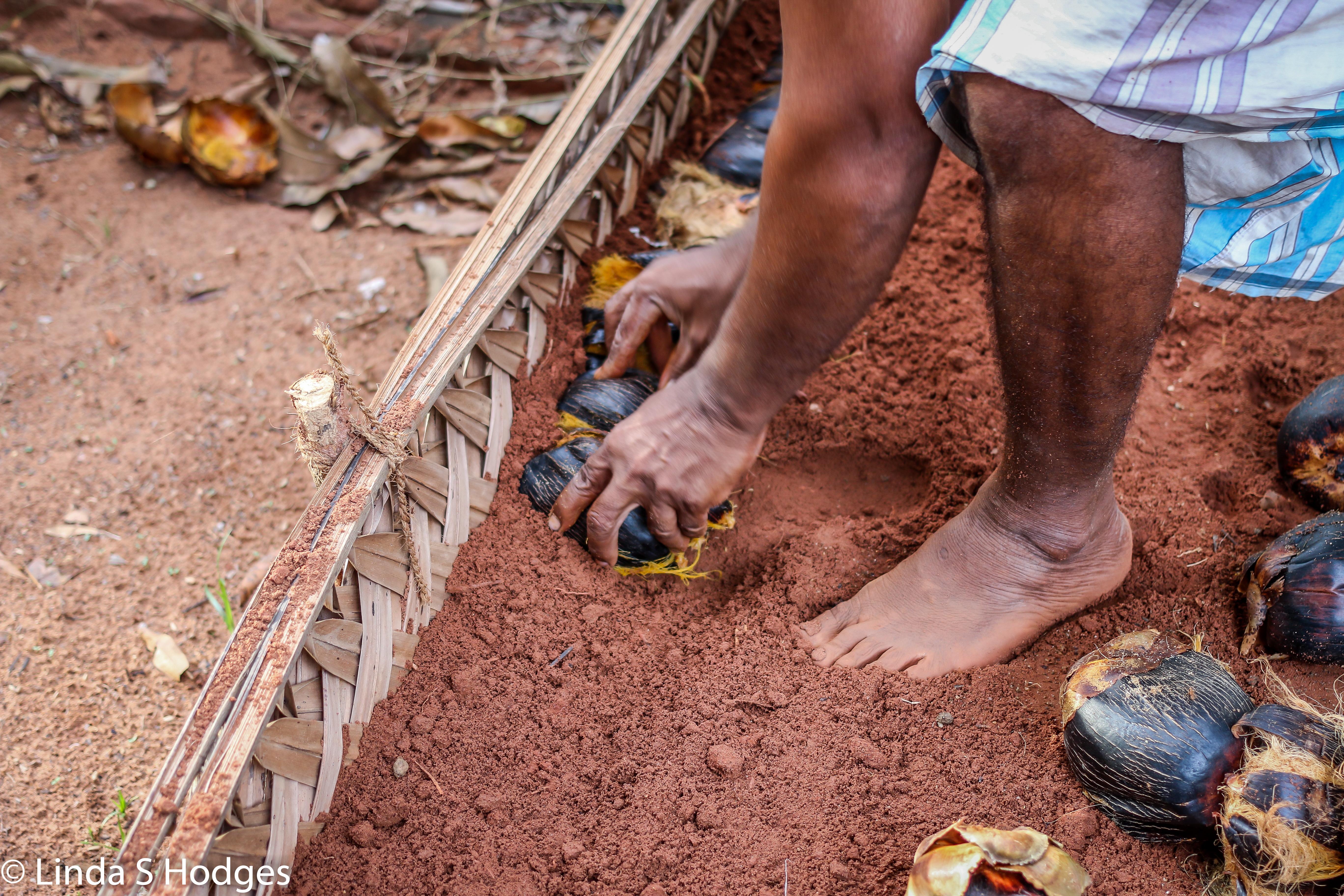 Planting the palmyra seeds
