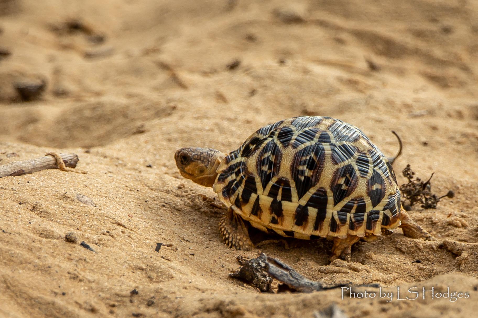 Baby Star Tortoise
