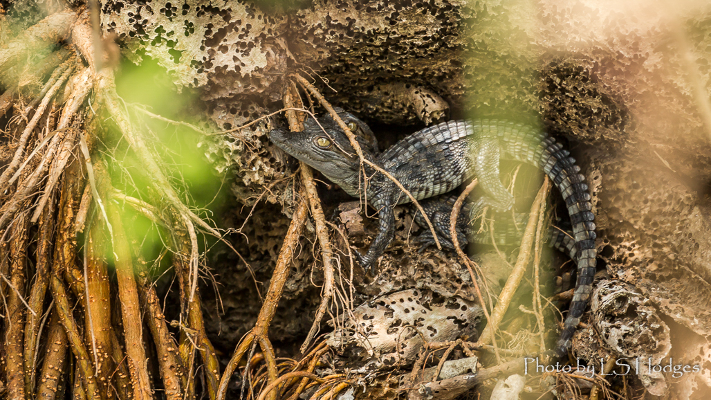 Baby crocs in nest
