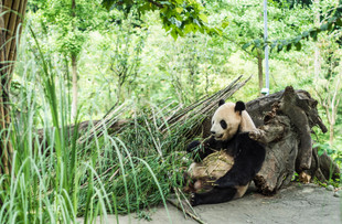 Giant pandas are super lazy, eat and sleep 90% of their lives