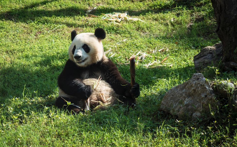 Giant Panda @ Dujiangyan Panda Base