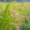 Rice2.png