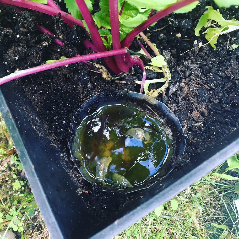 slug beer trap organic gardening raddish plants
