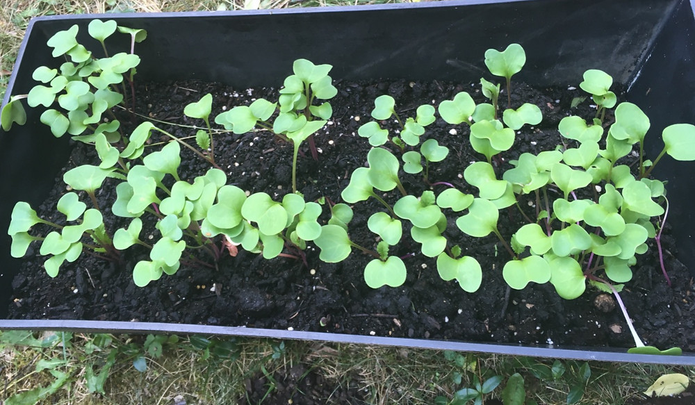 radish sprouting seeds used for container garden chemical free